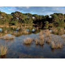 Δάσος κουκουναριάς στη Στροφυλιά - Φωτ. Αρχείο ΕΚΒΥ/Λ. Λογοθέτης